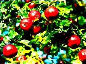 apples-300x225