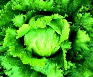 lettuce-300x250